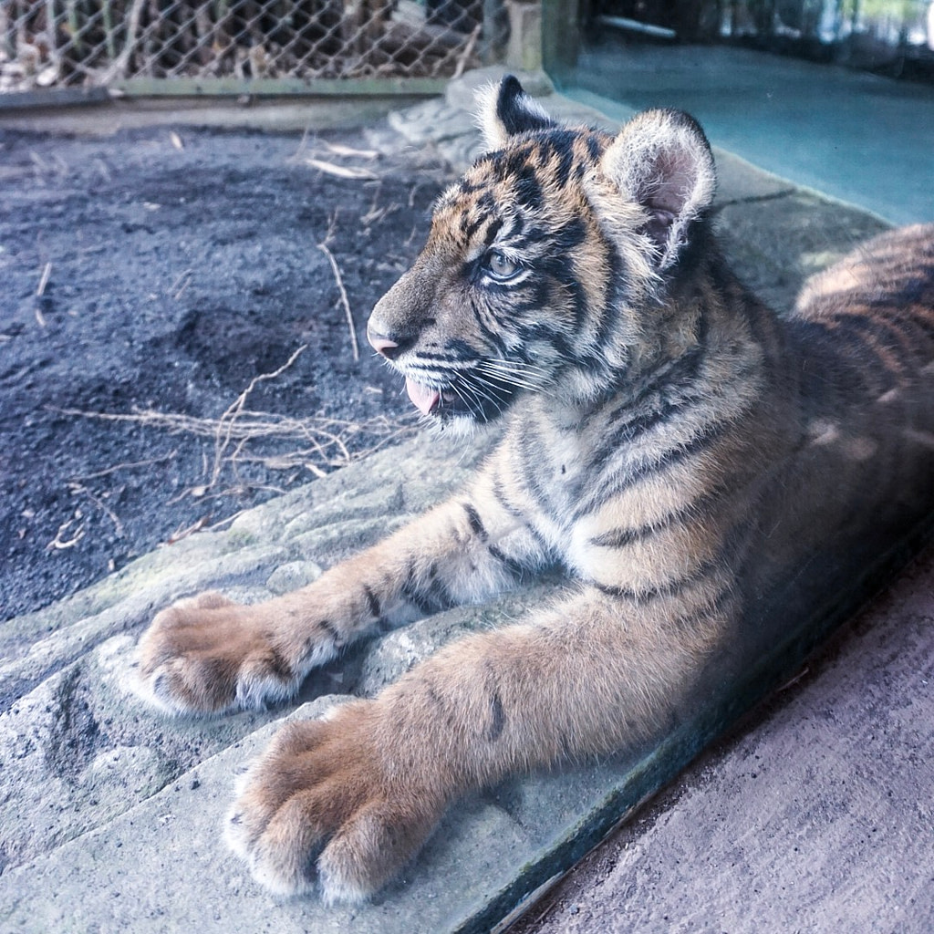 five month old tiger cub at Bali Zoo