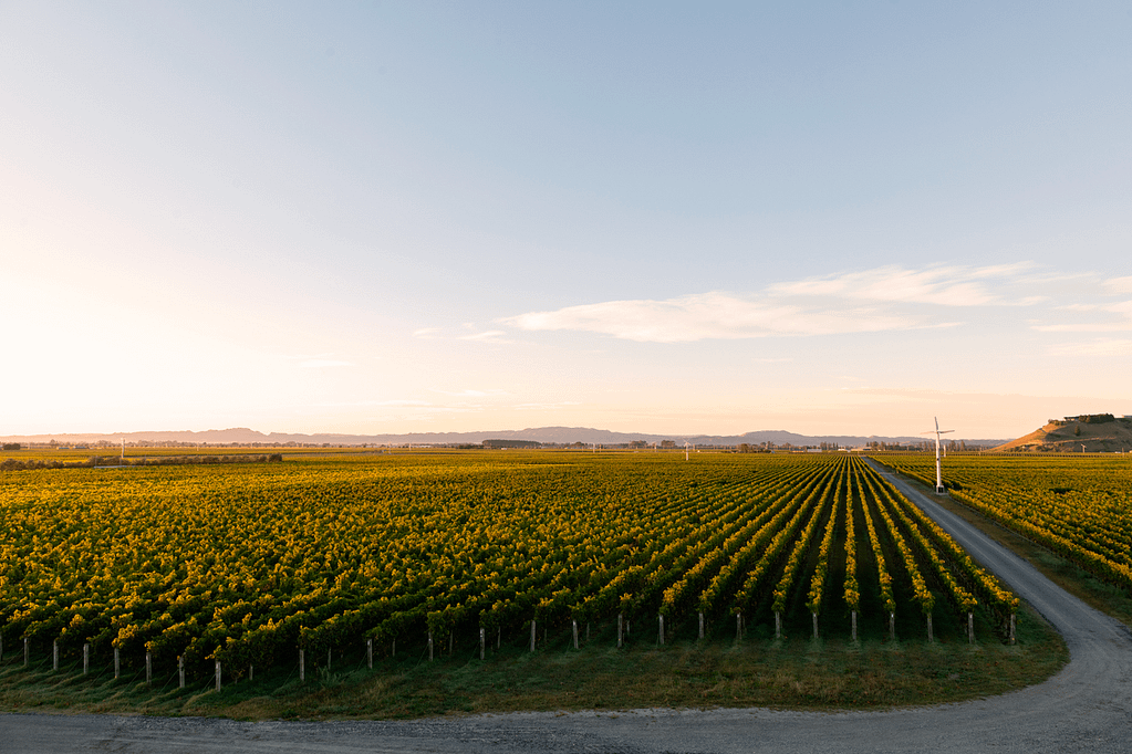 Grapevines at sunrise in Hawkes Bay New Zealand