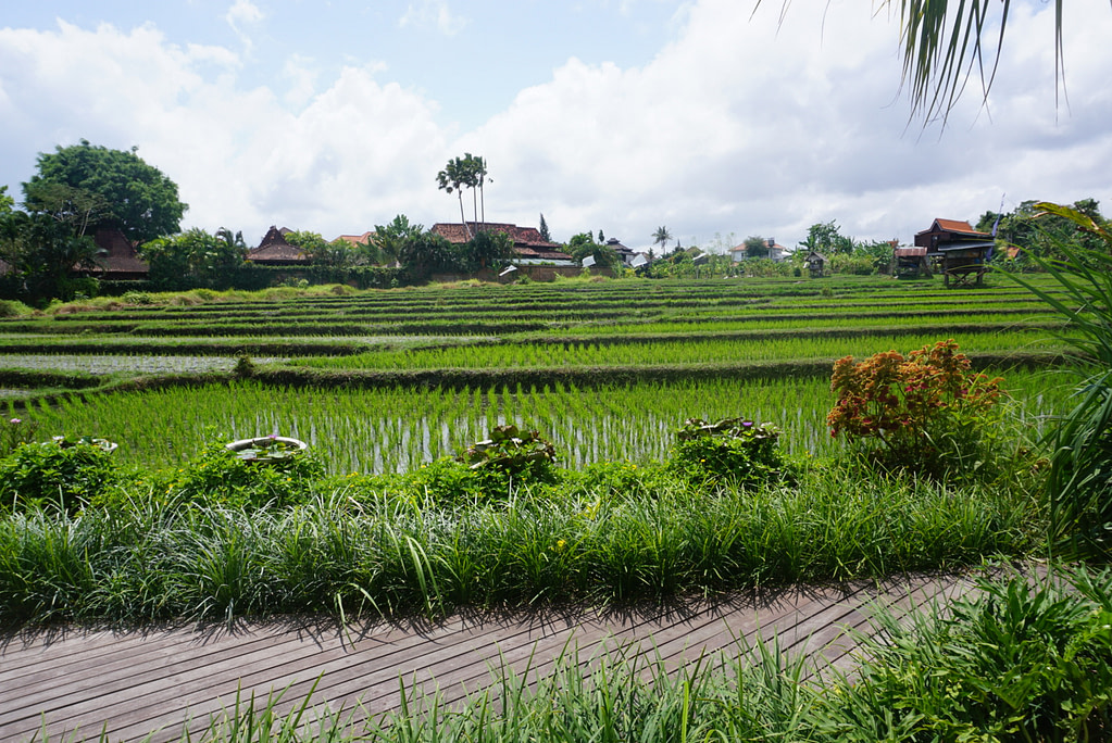 green rice field with old wooden buildings on perimeter