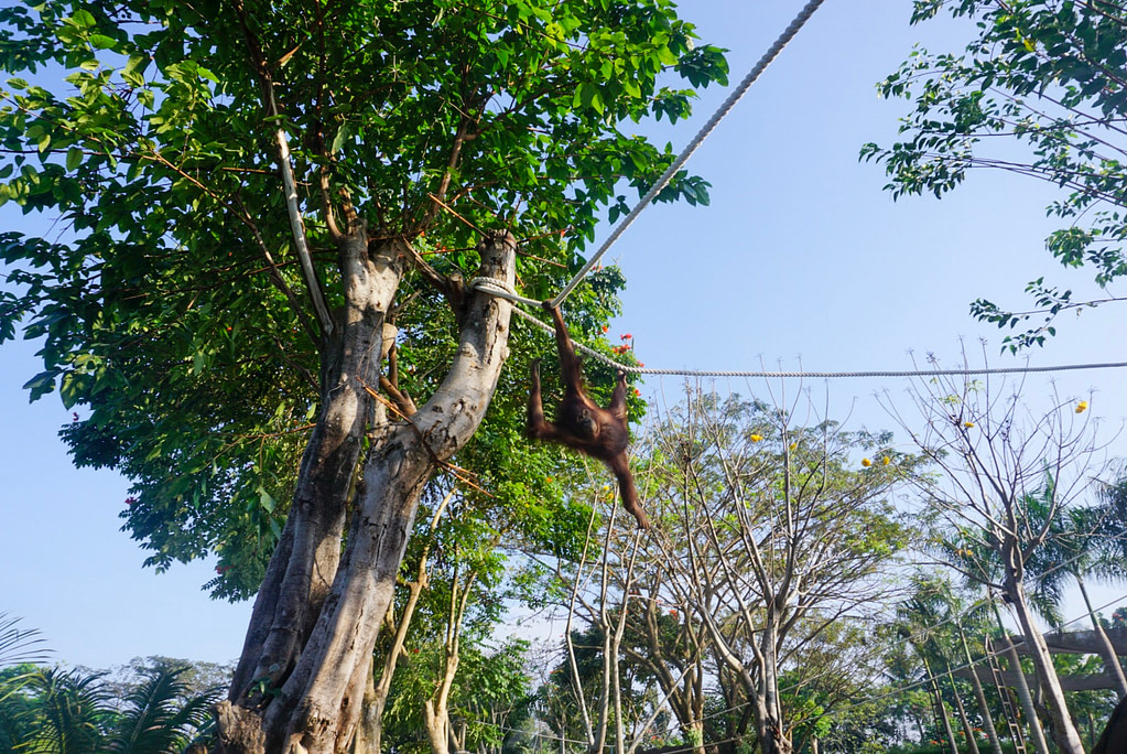 orangutan swinging from rope between large green trees on sunny day
